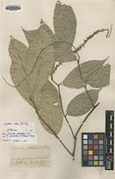 Type of Bennettia pedicellata R.Br. [family PANDACEAE]