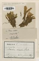 Isotype of Bartramia aureola Besch. ex Müll.Hal. [family BARTRAMIACEAE]