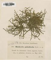Type of Hookeria paludicola Broth. [family HOOKERIACEAE]