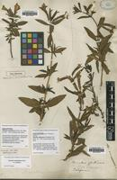 Lectotype of Mimulus glutinosus J.C.Wendl. [family SCROPHULARIACEAE]