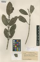 Isotype of Melicope jugosa T.G.Hartley [family RUTACEAE]
