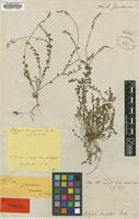 Type of Polygala campestris Gardner [family POLYGALACEAE]