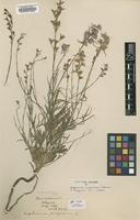 Holotype of Delphinium maderense C.Blanche [family RANUNCULACEAE]