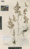 Isotype of Cheilanthes harrisii Maxon [family PTERIDACEAE]