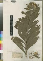 Type of Vernonia venosa S.Moore [family ASTERACEAE]