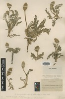 Syntype of Astragalus aragonensis Freyn & Willk. [family FABACEAE]