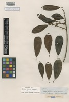 Isotype of Ficus sprucei Standl. [family MORACEAE]