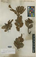 Isotype of Cuellaria ferruginea Ruiz & Pav. [family CLETHRACEAE]