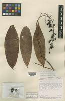 Holotype of Ouratea rinconensis Whitefoord [family OCHNACEAE]