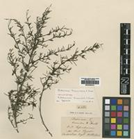 Isolectotype of Dodonaea hexandra F.Muell. [family SAPINDACEAE]