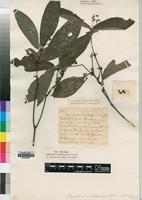 Type of Psychotria rubristipulata R.D.Good [family RUBIACEAE]