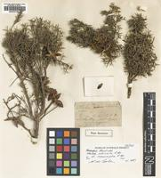 Holotype of Hakea intricata R.Br. [family PROTEACEAE]