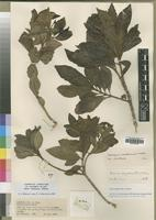 Filed as Nuxia congesta R.Br. ex Fresen. [family BUDDLEJACEAE]