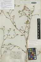 Holotype of Isocarpha divaricata Benth. [family ASTERACEAE]