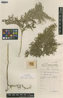 Type of Selaginella leveriana Alston [family SELAGINACEAE]