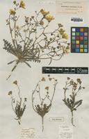 Type of Malacothrix sonchoides Torr. & A.Gray [family ASTERACEAE]