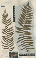 Isotype of Alsophila commutata Mett. [family CYATHEACEAE]