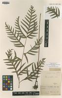 Type of Pteris dissitifolia Baker [family PTERIDACEAE]