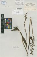Syntype of Thelymitra macrophylla Lindl. [family ORCHIDACEAE]