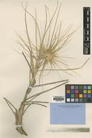 Type of Spinifex fragilis R.Br. [family POACEAE]