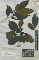 Isotype of Miconia sprucei Triana [family MELASTOMATACEAE]