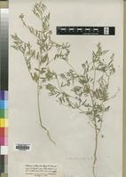 Type of Indigofera goniodes Hochst. [family LEGUMINOSAE]
