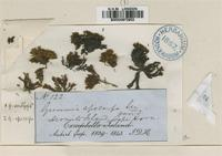 Isotype of Grimmia amblyophylla M�ll.Hal. [family GRIMMIACEAE]