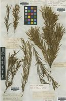 Isotype of Orites acicularis R.Br. [family POACEAE]