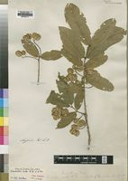 Isotype of Combretum molle R.Br. ex G.Don [family COMBRETACEAE]