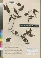 Isotype of Loranthus pungwensis Weim. [family LORANTHACEAE]