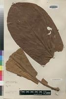 Holotype of Anthocleista insulana S.Moore [family LOGANIACEAE]