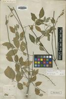 Type of Nissolia fruticosa Jacq. [family LEGUMINOSAE]