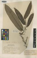 Syntype of Myristica scortechinii King [family MYRISTICACEAE]
