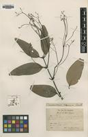 Type of Cinnamomum cinereum Gamble [family LAURACEAE]