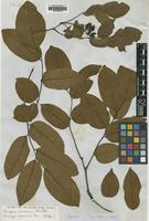 Isotype of Dalbergia mooniana Thwaites [family LEGUMINOSAE]