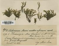 Type of Hedwigia mac-owani Müll.Hal. ex Dixon & A.Gepp [family HEDWIGIACEAE]