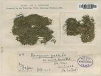 Original material of Pterogonium gracile D.A.Jones var. minus [family LEUCODONTACEAE]