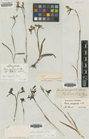 Type of Diuris emarginata R.Br. [family ORCHIDACEAE]