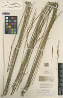 Type of Stipa juncifolia Hughes [family POACEAE]