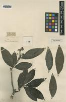 Type of Mapouria tomentella S.Moore [family RUBIACEAE]