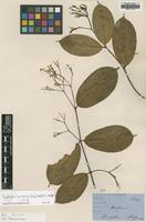 Isotype of Anodendron borneense (King & Gamble) D.J.Middleton [family APOCYNACEAE]