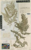 Type? of Lycopodium fulcratum Buch.-Ham. ex D.Don [family LYCOPODIACEAE]