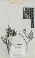 Type of Microcorys barbata R.Br. [family LAMIACEAE]