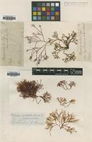 Filed as Polyopes constrictus (Turner) J.Agardh [family HALYMENIACEAE]