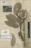Holotype of Deguelia scandens Aubl. [family FABACEAE]