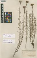Isotype of Vernonia linosyrifolia Chodat f. mayor [family ASTERACEAE]