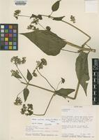 Isotype of Mikania castroi R.M.King & H.Rob. [family ASTERACEAE]
