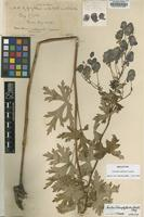 Holotype of Aconitum williamsii Lauener [family RANUNCULACEAE]