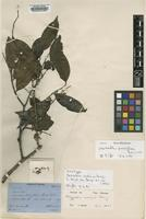 Isotype of Mezzettia curtisii King [family ANNONACEAE]