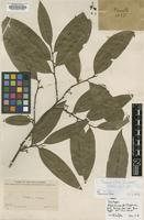 Isotype of Alphonsea philippensis Merr. [family ANNONACEAE]